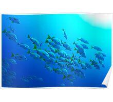 School of Burrito Grunt (Anisotremus interruptus), underwater view, Ecuador, Galapagos Archipelago, Poster