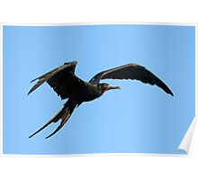 Flying Great Frigate male bird (Fregata minor), Ecuador, Galapagos Archipelago, Poster