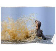 Hippo splashing water (Hippopotamus amphibius), Kruger National Park, South Africa Poster