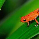 Strawberry frog II by Mundy Hackett