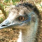 Emu watching you by cschurch