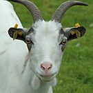 Portrait Of A Goat by Robert Abraham