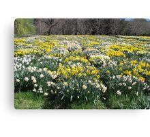 More and More Daffodils Canvas Print