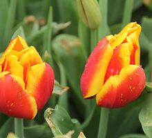 Red and Yellow Tulips by ©Josephine Caruana