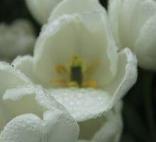 Tulips by ©Josephine Caruana