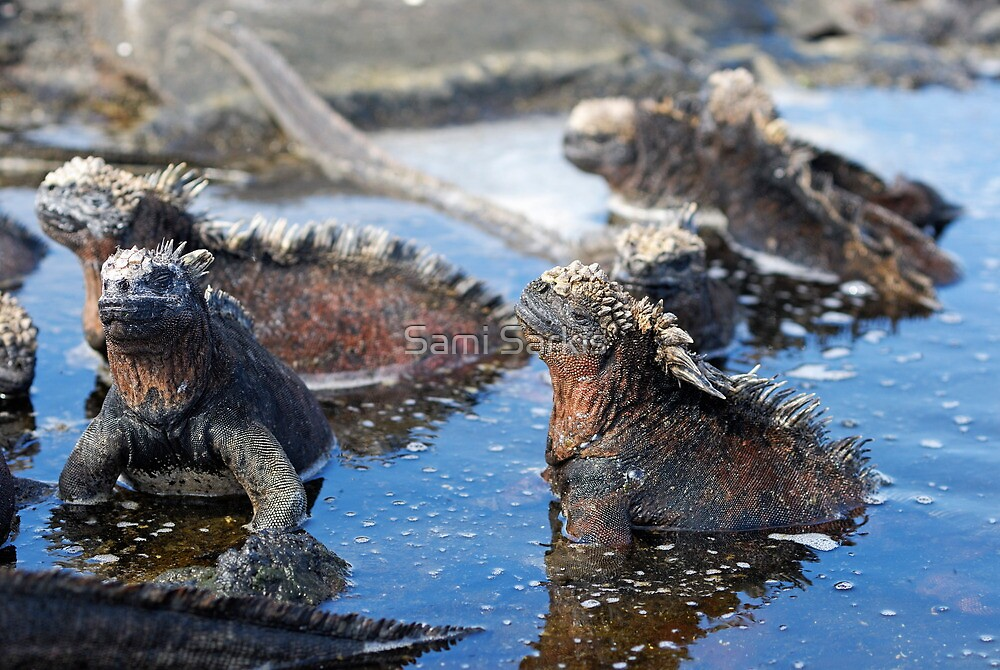Group of Marine Iguana (Amblyrhynchus cristatus) bathing in the water, Ecuador, Galapagos Archipelago, Isabela Island. by Sami Sarkis