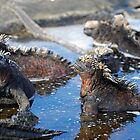Group of Marine Iguana (Amblyrhynchus cristatus) bathing in the water, Ecuador, Galapagos Archipelago, Isabela Island. by Sami Sarkis