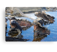 Group of Marine Iguana (Amblyrhynchus cristatus) bathing in the water, Ecuador, Galapagos Archipelago, Isabela Island. Canvas Print