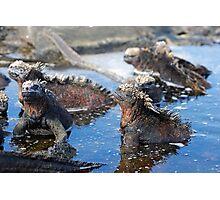 Group of Marine Iguana (Amblyrhynchus cristatus) bathing in the water, Ecuador, Galapagos Archipelago, Isabela Island. Photographic Print