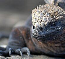 Marine Iguana (Amblyrhynchus cristatus) on rock, close-up - Ecuador, Galapagos Archipelago, Isabela Island. by Sami Sarkis