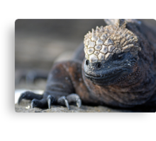 Marine Iguana (Amblyrhynchus cristatus) on rock, close-up - Ecuador, Galapagos Archipelago, Isabela Island. Canvas Print