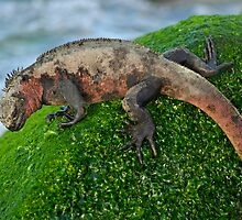 Marine Iguana (Amblyrhynchus cristatus) on rock covered with green seaweed - Ecuador, Galapagos Archipelago, Espanola Island. by Sami Sarkis