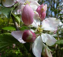 Apple blossom - iPhone case by Photos - Pauline Wherrell