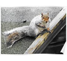 Squirrel resting after eating Bird Food. Poster