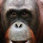 Orangutan by Alan Harman