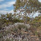 Tree Smoke Bush at Watheroo, Western Australia by TonyCrehan