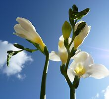 """Beam of Light""  The Flower of a White Freesia by Anita  Fletcher"