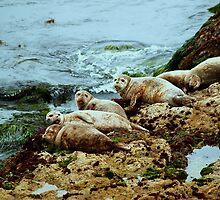 Seals in Monterey, California by K D Graves Photography