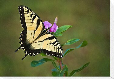 SWALLOWTAIL ON VINCA by RGHunt