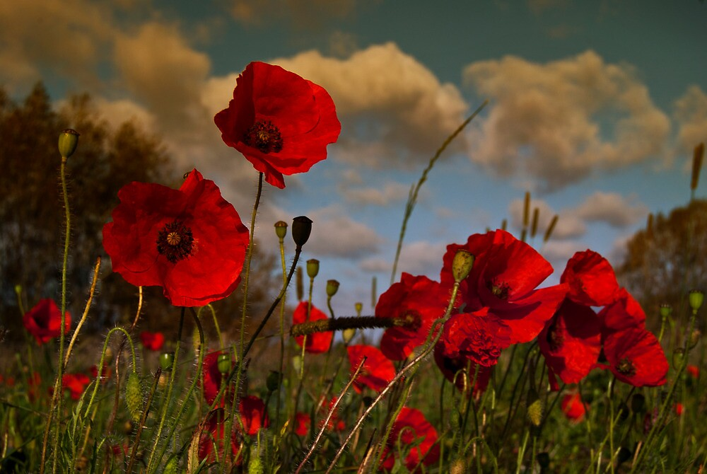 Poppy Field 2 by ajgosling