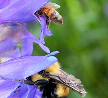 Bumble Bee and Honey Bee Diving For Nectar by Betsy  Seeton