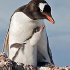 Gentoo and Chick by Krys Bailey