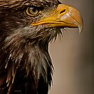 Juvenile Bald Eagle Portrait v1 by JMChown