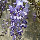 Wysteria - iPhone case by Photos - Pauline Wherrell