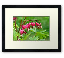 Bleeding Heart flower (Dicentra spectabilis) Framed Print