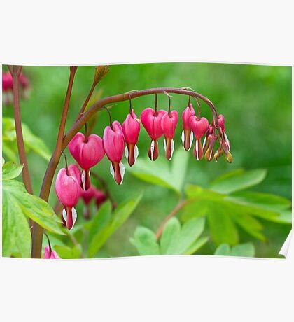 Bleeding Heart flower (Dicentra spectabilis) Poster