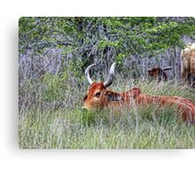Horned Cow in Saltgrass Canvas Print