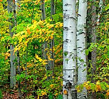 Birches - Sharbot Lake Ontario by Debbie Pinard