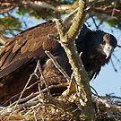 Young Bald Eagle on the Nest by David Friederich