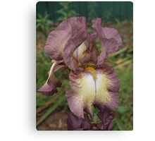Iris 'Purple Gleam' Canvas Print