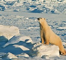 Curious Polar Bear pushups by Owed To Nature
