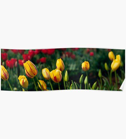 The Tulip Field, Victoria Poster