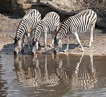 Three zebras by Anthony Brewer