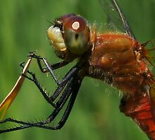 White-Faced Meadowhawk Dragonfly by Betsy  Seeton