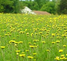 Dandelions  by Marriet
