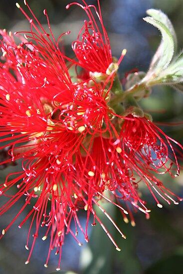 bottle brush in bloom by kimiloo