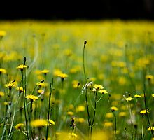 Daisy field by KerrieMcSnap