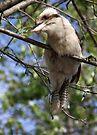 Young Kookaburra by yolanda