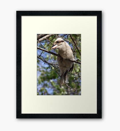 Young Kookaburra Framed Print