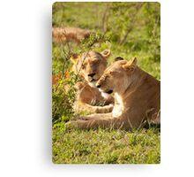 Sleeping Lionesses Canvas Print