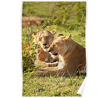 Sleeping Lionesses Poster