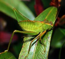 Green Speckled Bush Cricket by Hugh Coleman