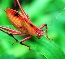 Red Bush Cricket 3 by Hugh Coleman