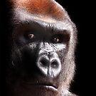Kouillou ....  Western Lowland Gorilla by Stephie Butler