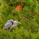 Hiding Heron by Monte Morton