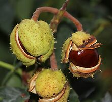Conkers by karina5